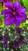 Clematis 'Burma Star' STRIKING COLOUR COMBINATION for Patio Containers. Thrives in every aspect.This Hardy Perennial Climber has been container grown so can be planted at any time of the year. We despatch WITH container so the roots are safe.