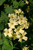 Jasmine 'Clotted Cream' - HARDY PERENNIAL CLIMBER- HEAVENLY SCENTED CREAMY FLOWERS. This Hardy Perennial Climber has been container grown so can be planted at any time of the year. We despatch WITH container so the roots are protected.