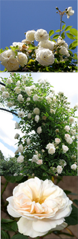 AVAILABLE NOW - Climbing Rose White Climber - A beautiful fragrant rose