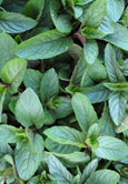 Chocolate Mint:  Mentha x piperita Hardy Perennial. (3xGarden Ready Plants Supplied)