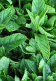 New Potato Mint:  Mentha suaveolens Hardy Perennial.  (3xGarden Ready Plants Supplied)