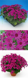 Senetti Magenta GARDEN READY Plants - DELIVERY - APRIL ONWARDS