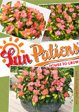 SunPatiens® Salmon Variegated X 5 Jumbo Plug Plants. DELIVERY - MAY ONWARDS