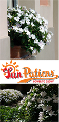 SunPatiens® Compact White X 5 Jumbo Plug Plants. DELIVERY - MAY ONWARDS