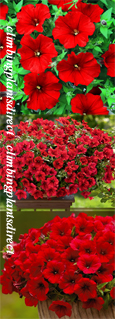 5 X Surfinia Trailing Petunia Red Plug Plants - DELIVERY - MAY ONWARDS