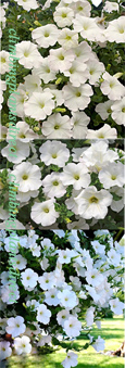 5 X Surfinia Trailing Petunia Snow Plug Plants - DELIVERY - MAY ONWARDS
