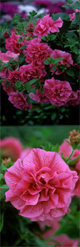5 X Trailing Petunias 'Tumbelina Clara' - DELIVERY - MAY ONWARDS