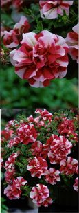 5 X Trailing Petunias 'Tumbelina Rosy Ripple' - DELIVERY - MAY ONWARDS