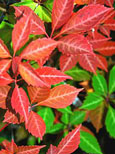 2 xParthenocissus quinquefolia - 'Virginia Creeper' - EASY TO GROW SHOWSTOPPER!  Masses of lush foliage from early spring right through to early winter & an AWARD WINNER too! - RHS AGM . This Hardy Perennial Climber can be planted at any time of the year.